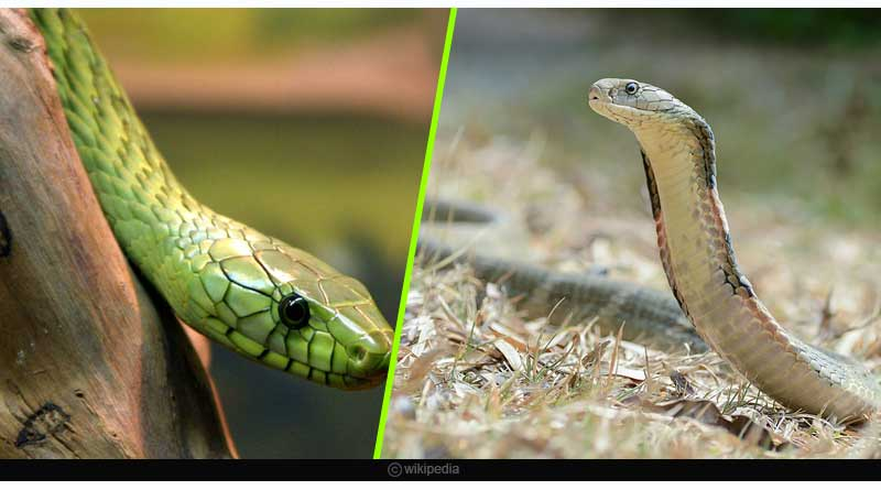 Neurotoxic effects producing snake venom