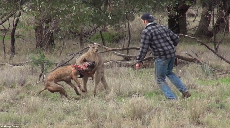 man punching kangaroo