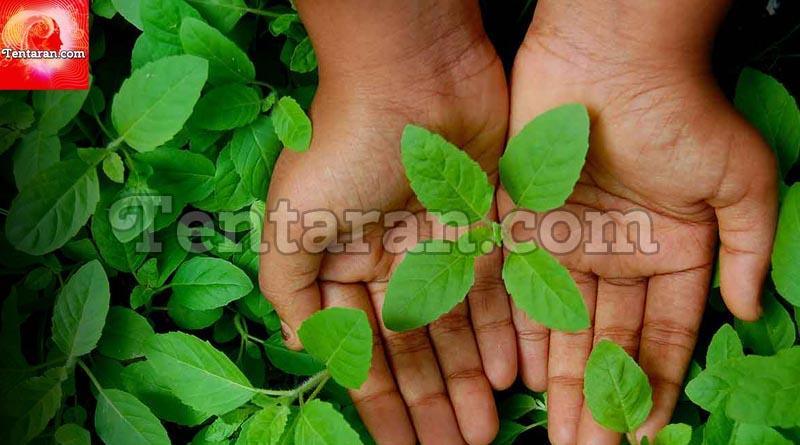 Tulsi or Basil Leaves