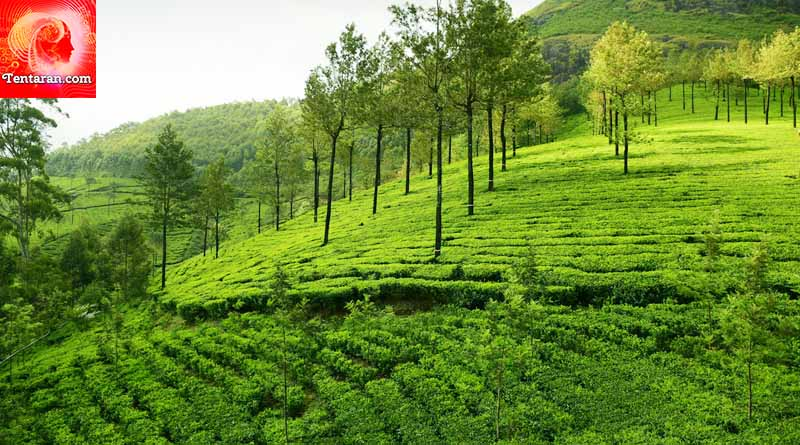 Kolukkumalai Tea Estates