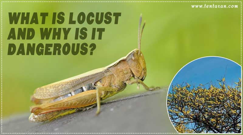 what is locust